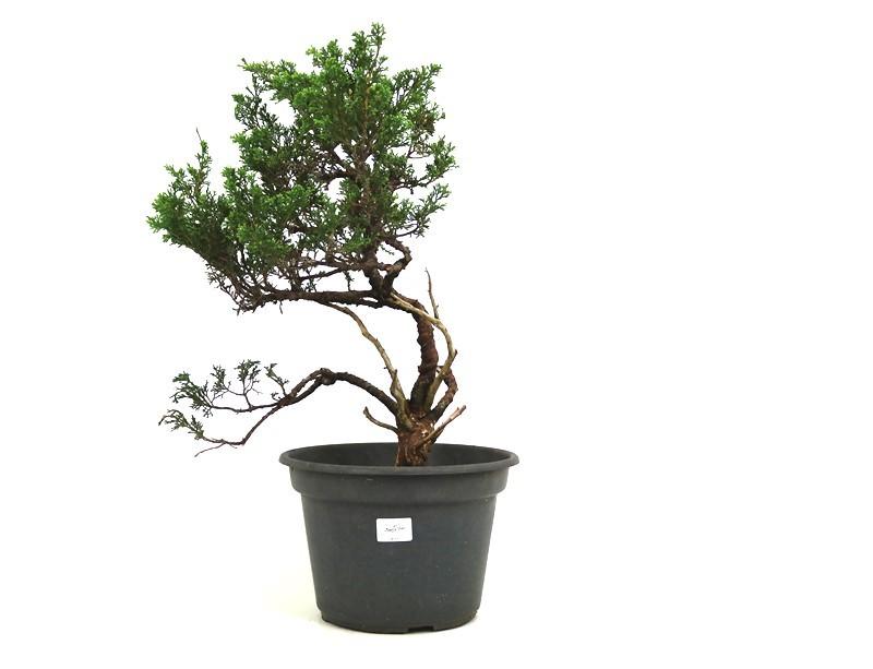 Pré-Bonsai Itoigawa 16 anos medida da planta (AxL) 46x34 cm