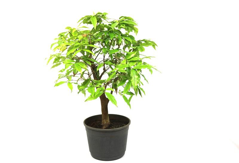 Pre-Bonsai Jabuticaba Branca 12 anos - medida da planta (AxL) 30x34 cm