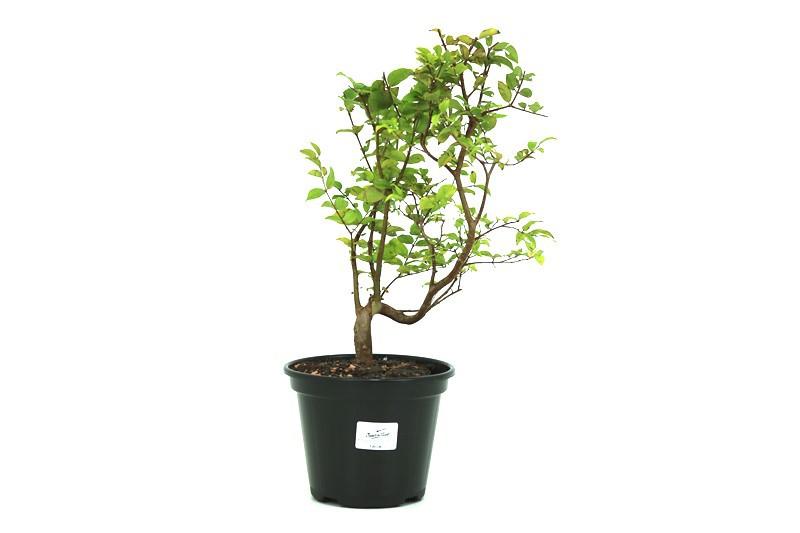 Pre-Bonsai Jabuticaba Hibrida 02 anos - medida da planta (AxL) 26x26 cm
