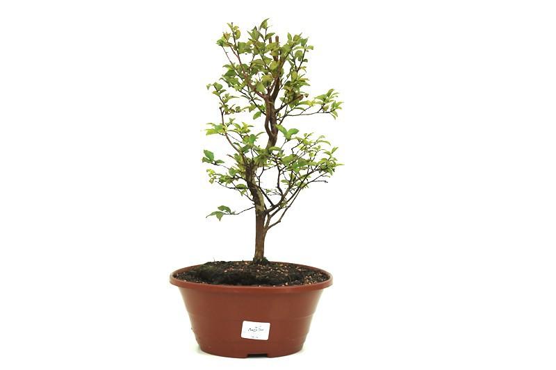Pre-Bonsai Jabuticaba Hibrida 02 anos - medida da planta (AxL) 32x20 cm