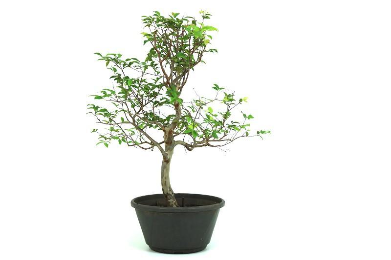 Pre-Bonsai Jabuticaba Hibrida  08 anos - medida da planta (AxL) 44x38 cm