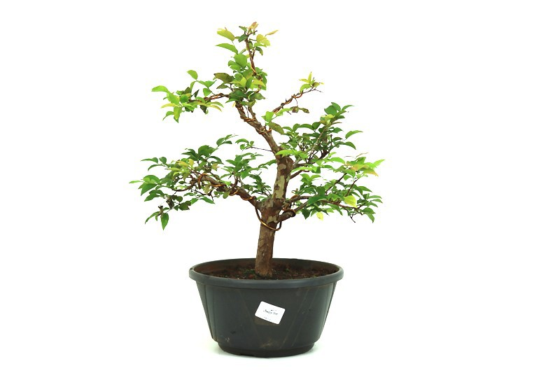 Pre-Bonsai Jabuticaba Hibrida  12 anos - medida da planta (AxL) 36x31 cm