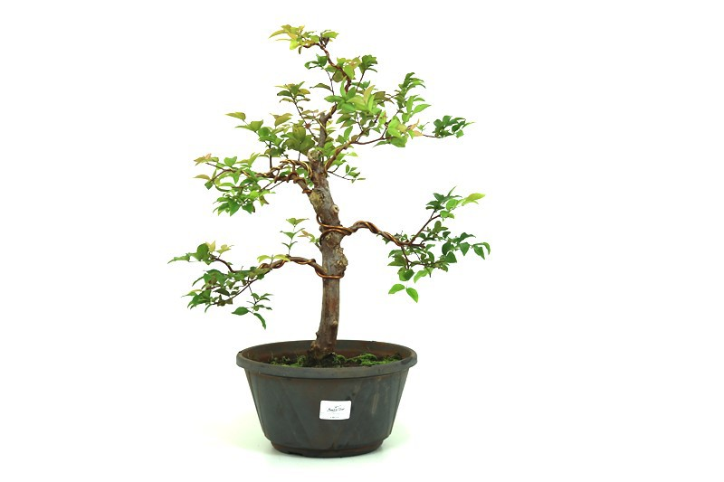 Pre-Bonsai Jabuticaba Hibrida  12 anos - medida da planta (AxL) 41x37 cm