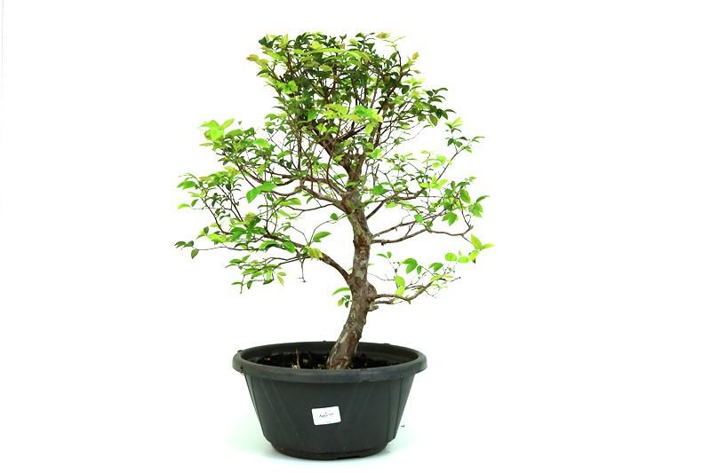 Pre-Bonsai Jabuticaba Hibrida  12 anos - medida da planta (AxL) 48x45 cm