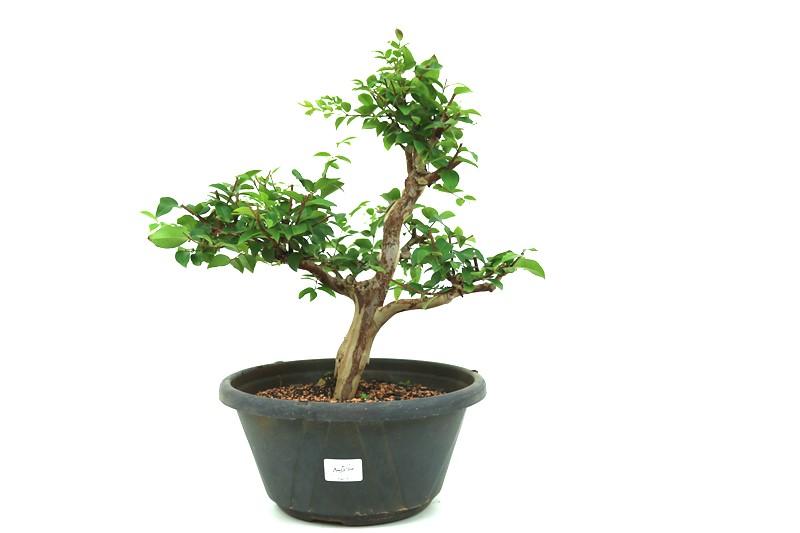 Pre-Bonsai Jabuticaba Hibrida  14 anos - medida da planta (AxL) 40x40 cm