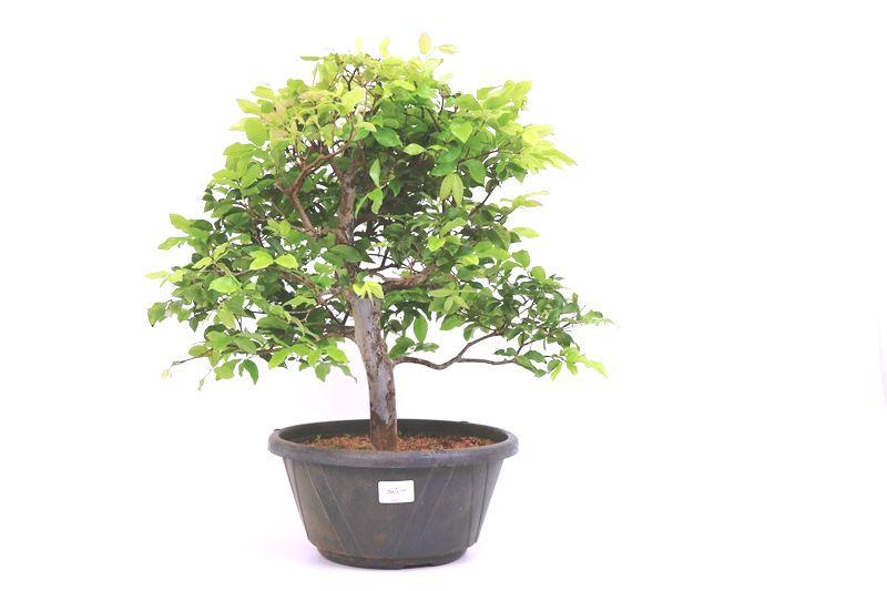 Pre-Bonsai Jabuticaba Hibrida  14 anos - medida da planta (AxL) 41x45 cm