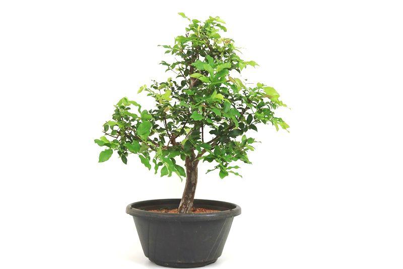 Pre-Bonsai Jabuticaba Hibrida  14 anos - medida da planta (AxL) 48x40 cm