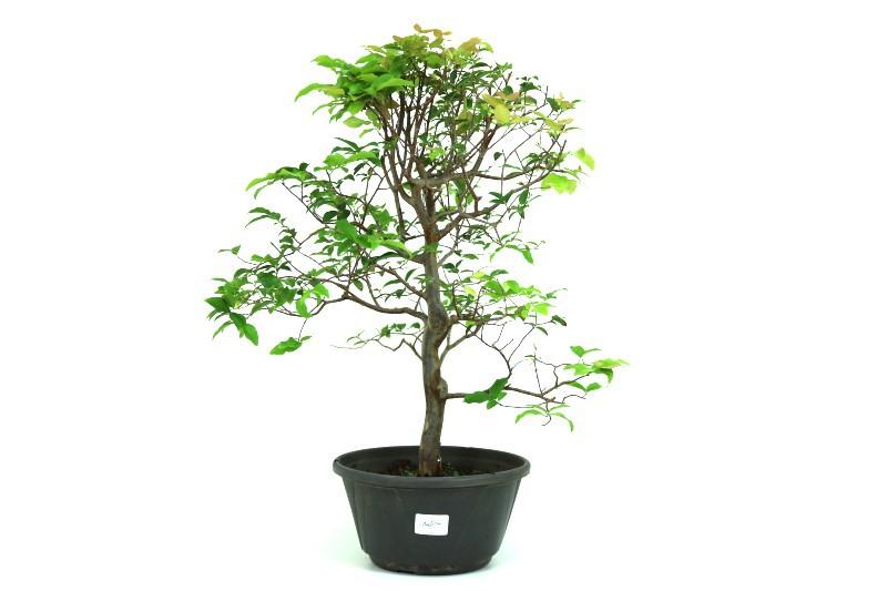Pre-Bonsai Jabuticaba Hibrida  8 anos - medida da planta (AxL) 48x37 cm