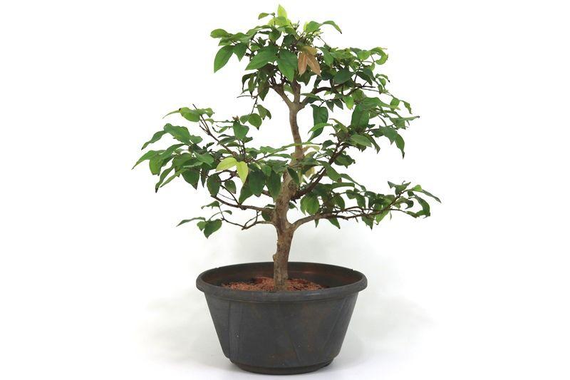 Pre-Bonsai Jabuticaba hidrida 06 anos - medida da planta (AxL) 36x36 centímetros