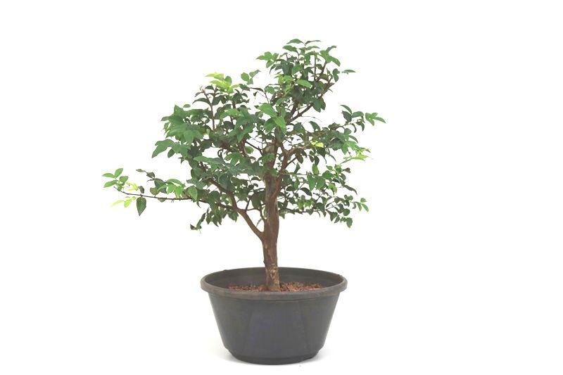 Pre-Bonsai Jabuticaba hidrida 06 anos - medida da planta (AxL) 38x38 centímetros