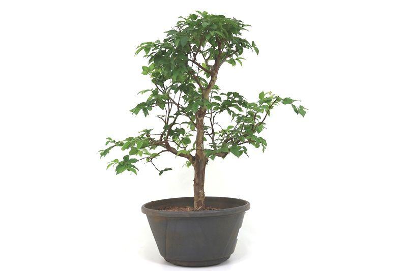 Pre-Bonsai Jabuticaba hidrida 06 anos - medida da planta (AxL) 40x36 centímetros