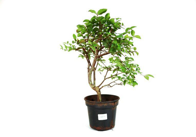 Pre-Bonsai Jabuticaba sabara 05 anos - medida da planta (AxL) 36x28 cm