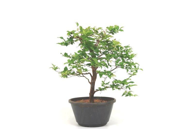 Pre-Bonsai Jabuticaba sabara 08 anos - medida da planta (AxL) 36x40 cm
