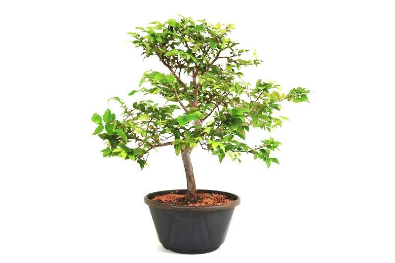 Pre-Bonsai Jabuticaba sabara 08 anos - medida da planta (AxL) 42x42 cm