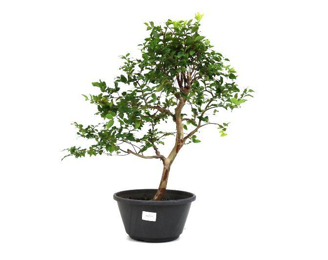Pre-Bonsai Jabuticaba sabara 08 anos - medida da planta (AxL) 48x34 cm