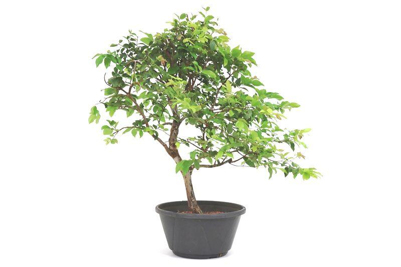 Pre-Bonsai Jabuticaba sabara 08 anos - medida da planta (AxL) 50x50 cm