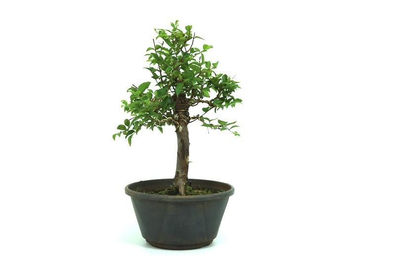 Pre-Bonsai Jabuticaba sabara 10 anos - medida da planta (AxL) 33x30 centímetros