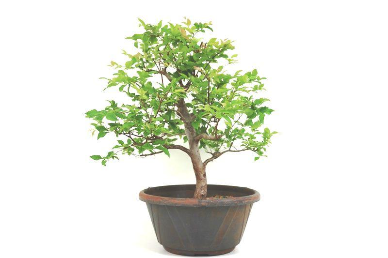 Pre-Bonsai Jabuticaba sabara 10 anos - medida da planta (AxL) 42x45 cm