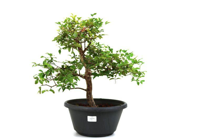 Pre-Bonsai Jabuticaba sabara 12 anos - medida da planta (AxL) 41x44 centímetros