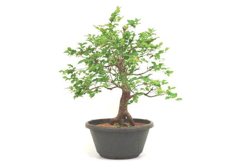 Pre-Bonsai Jabuticaba sabara 12 anos - medida da planta (AxL) 44x44 cm