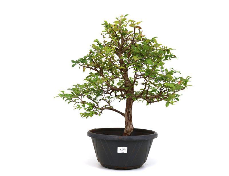 Pre Bonsai Jabuticaba Sabara 14 Anos Medida Da Planta Axl 45x46 Centimetros Bonsaishop
