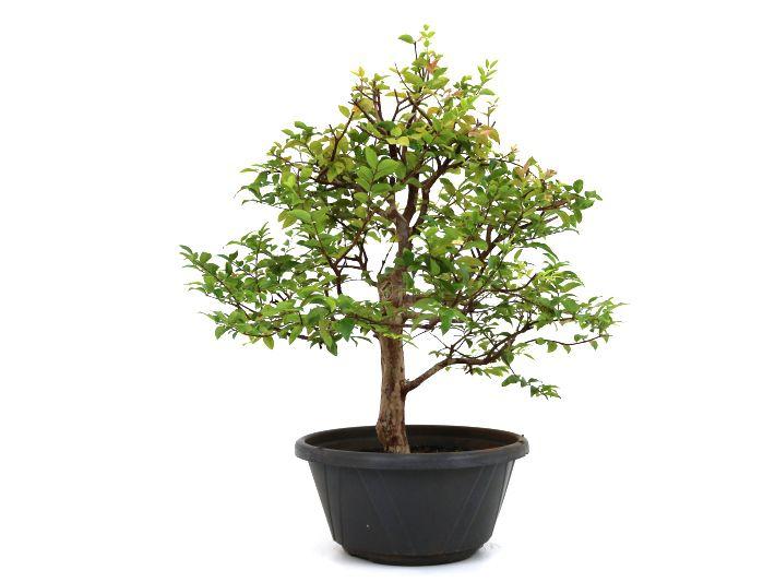 Pre-Bonsai Jabuticaba sabara 14 anos - medida da planta (AxL) 45x46 centímetros