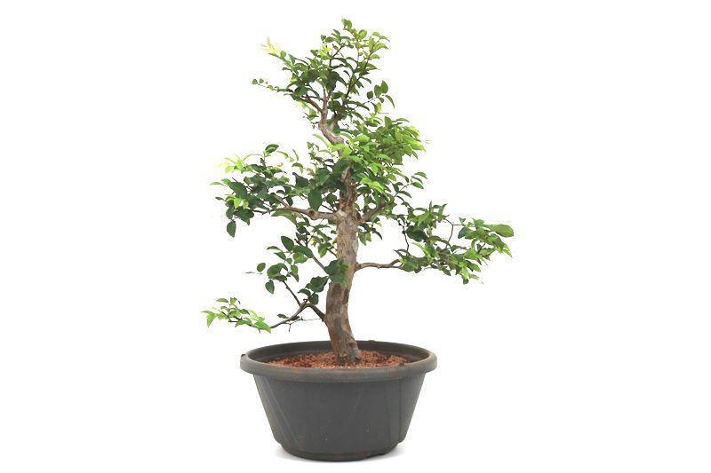 Pre-Bonsai Jabuticaba sabara 14 anos - medida da planta (AxL) 46x40 centímetros