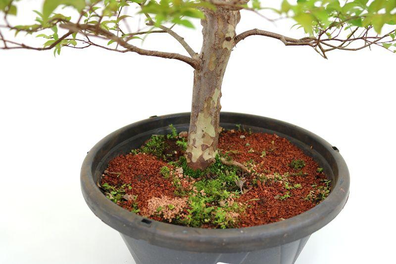Pre-Bonsai Jabuticaba sabara 15 anos - medida da planta (AxL) 47x35 centímetros