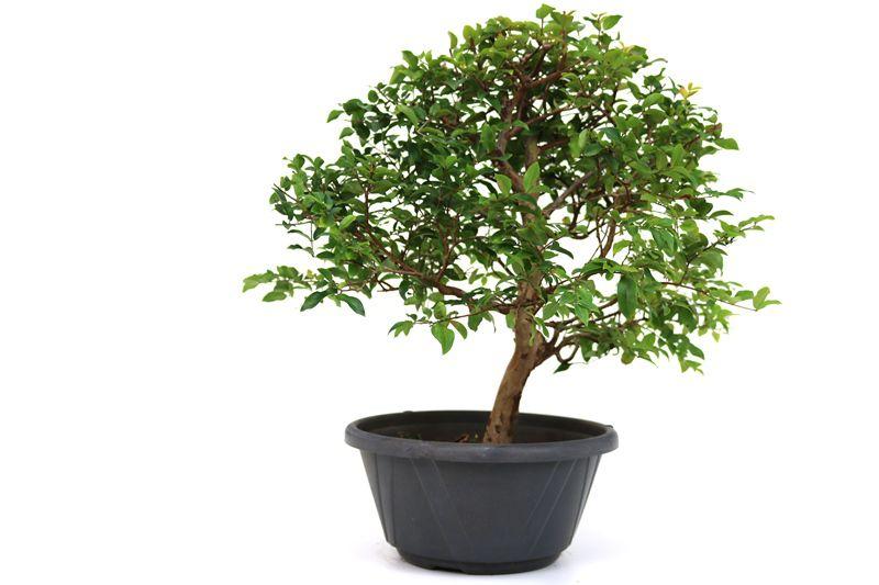 Pre-Bonsai Jabuticaba sabara 16 anos - medida da planta (AxL) 46x47 centímetros