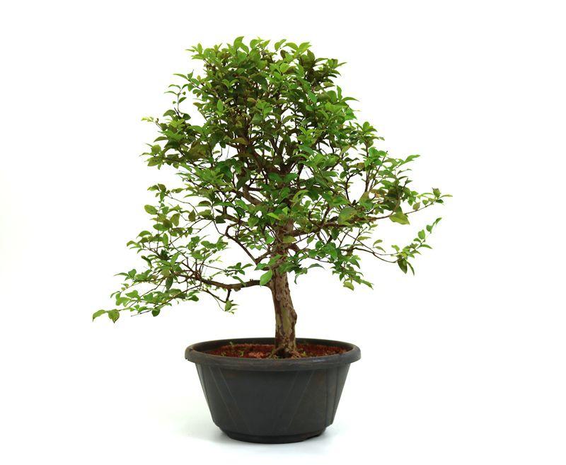Pre-Bonsai Jabuticaba sabara 16 anos - medida da planta (AxL) 48x41 cm
