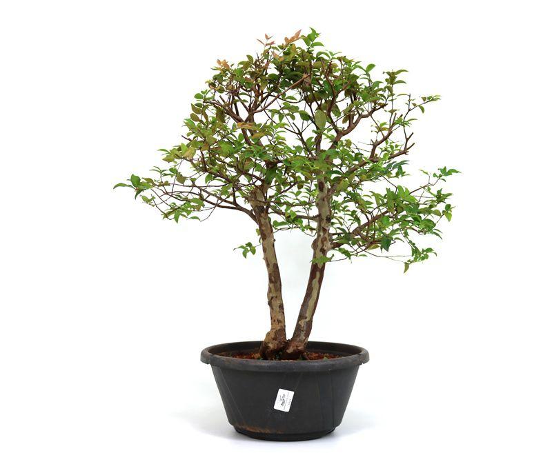 Pre-Bonsai Jabuticaba sabara 16 anos - medida da planta (AxL) 52x43 centímetros