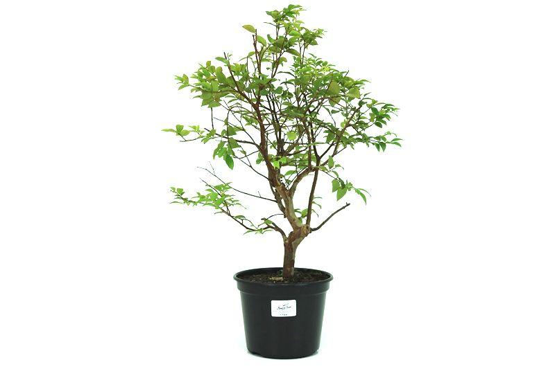 Pre-Bonsai Jabuticaba sabara 6 anos - medida da planta (AxL) 39x31 centímetros