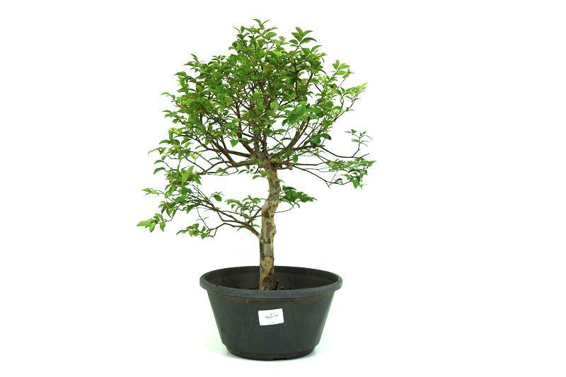 Pre-Bonsai Jabuticaba sabara 6 anos - medida da planta (AxL) 41x31 centímetros