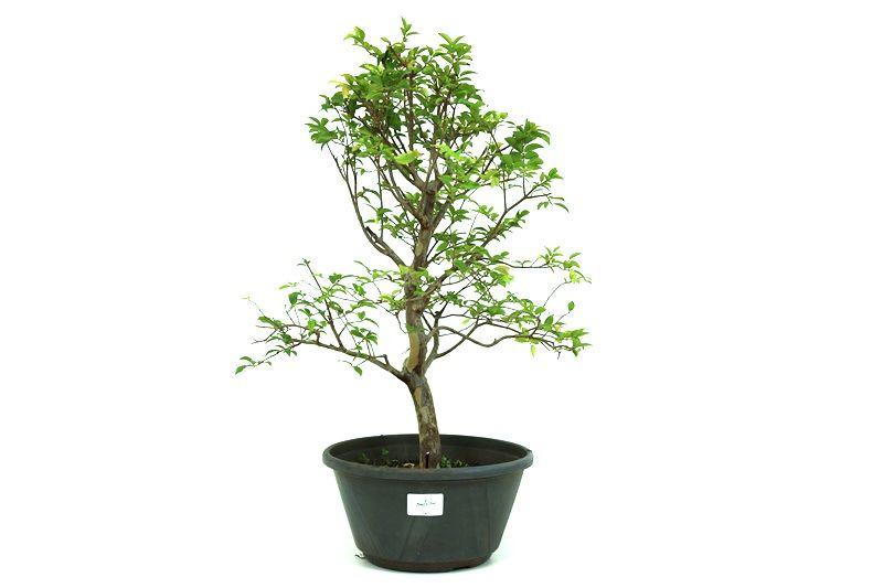 Pre-Bonsai Jabuticaba sabara 6 anos - medida da planta (AxL) 43x31 centímetros