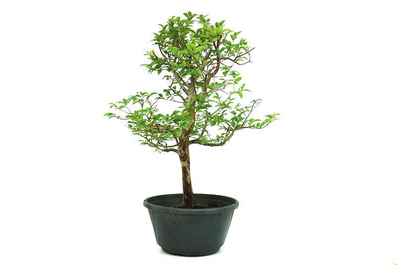 Pre-Bonsai Jabuticaba sabara 6 anos - medida da planta (AxL) 44x32 centímetros