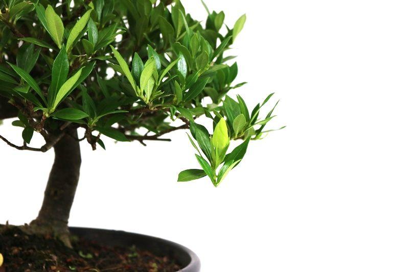 Pré-Bonsai Jasmin anão 06 anos medida da planta (AxL) 27x32 cm