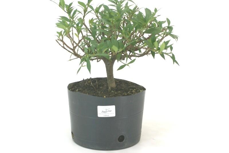 Pré-Bonsai Jasmin anão aproximadamente 04 anos medida da planta (AxL) 21x28 cm