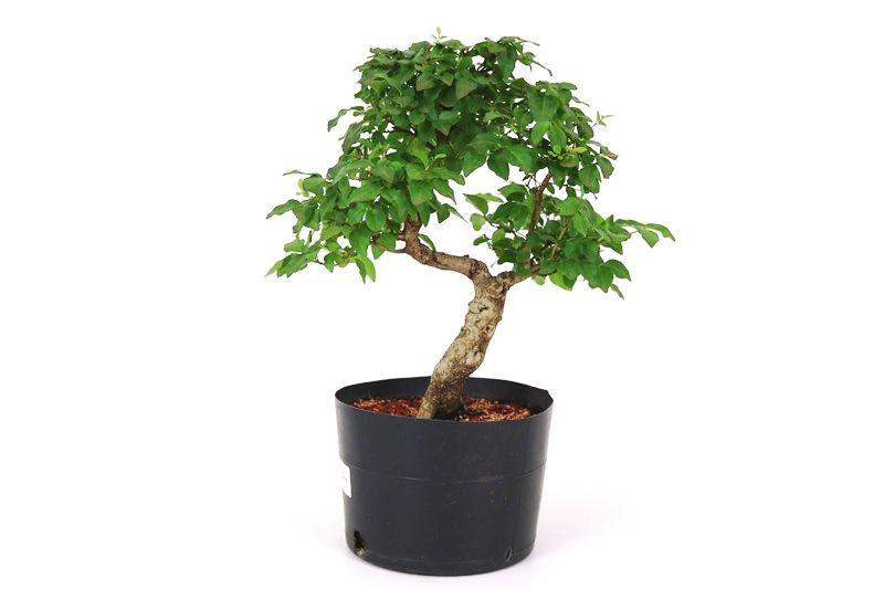 Pré-Bonsai Ligustrum 08 anos Medida da Planta (AxL) 29x26 cm