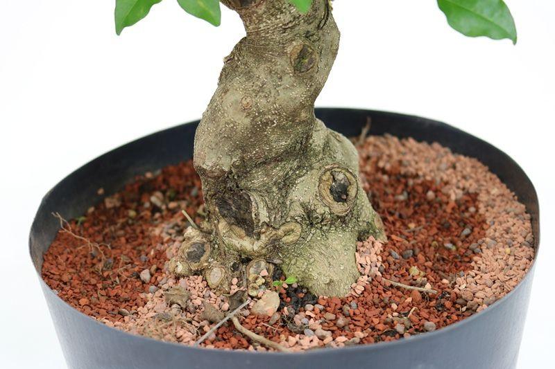 Pré-Bonsai Ligustrum 12 anos Medida da Planta (AxL) 31x23 cm
