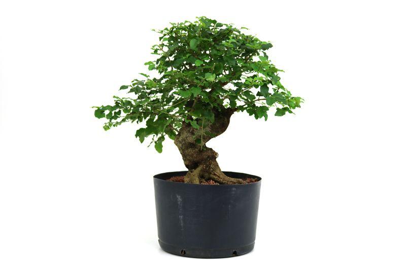 Pré-Bonsai Ligustrum 16 anos Medida da Planta (AxL) 31x31 cm