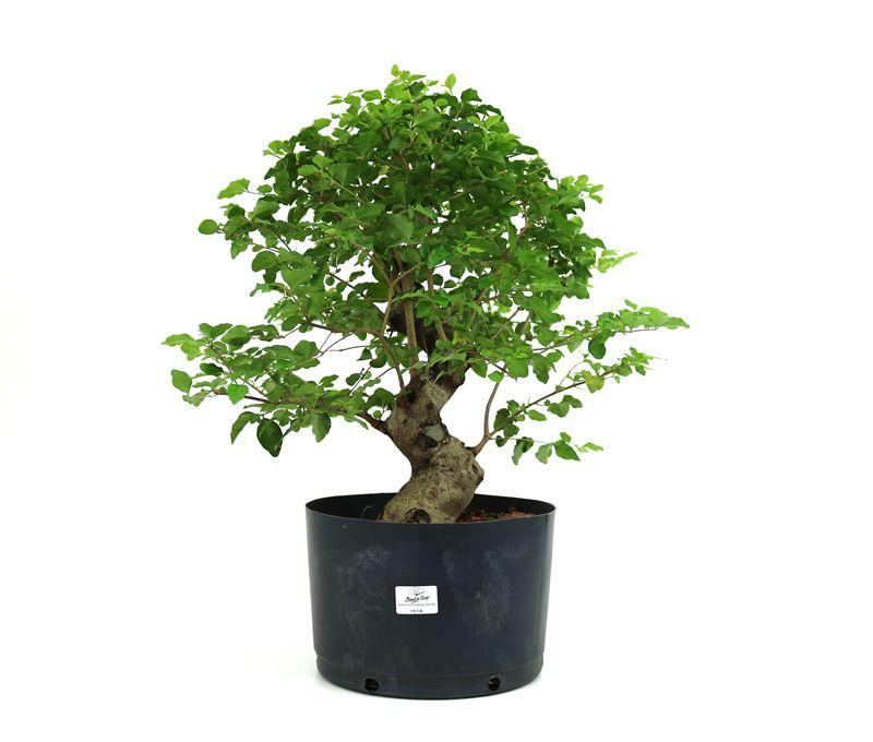 Pré-Bonsai Ligustrum 16 anos Medida da Planta (AxL) 40x38 cm