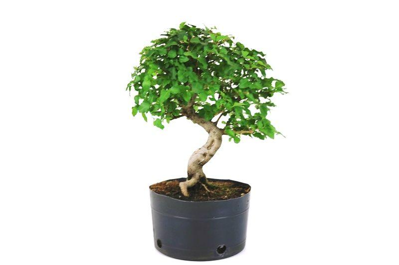 Pré-Bonsai Ligustrum 7 anos Medida da Planta (AxL) 29x27 cm