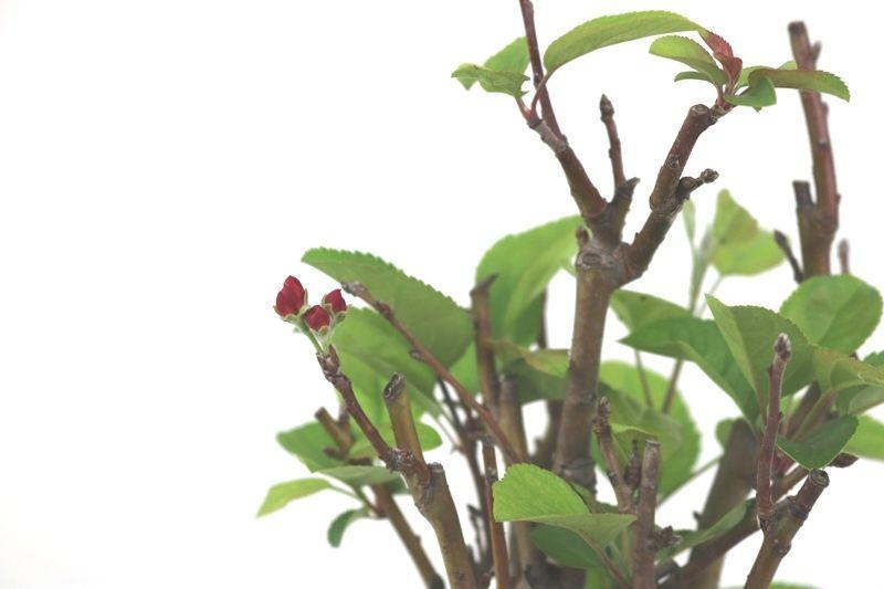 Pre-Bonsai Macieira Ana 03 Anos  - Medida da Planta  (AXL) 24x18 cm