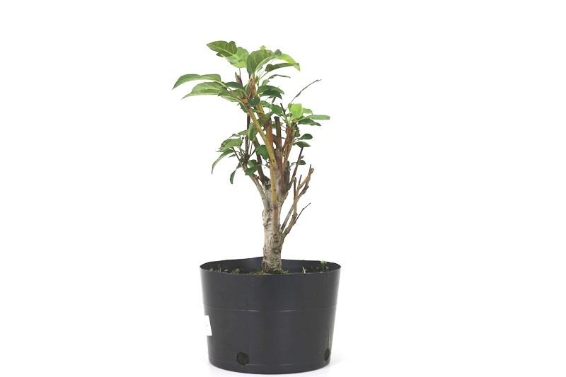 Pre-Bonsai Macieira Ana 03 Anos  - Medida da Planta  (AXL) 27x12 cm