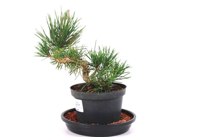 Pré-Bonsai Pinheiro Negro 04 anos - medida da planta (AxL) 10x18 cm