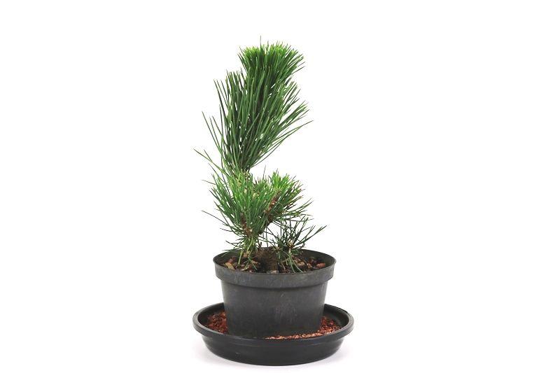 Pré-Bonsai Pinheiro Negro 04 anos - medida da planta (AxL) 13x18 cm