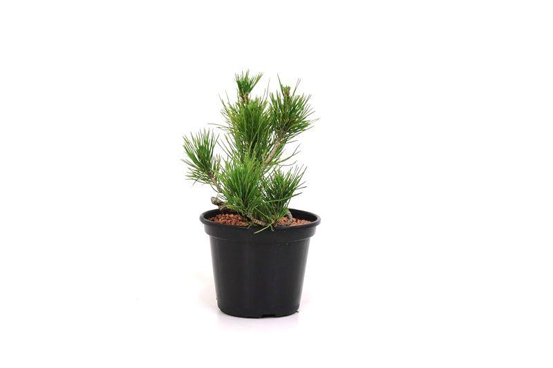 Pré-Bonsai Pinheiro Negro - 06 anos - medida da planta (AxL) 17x11 cm