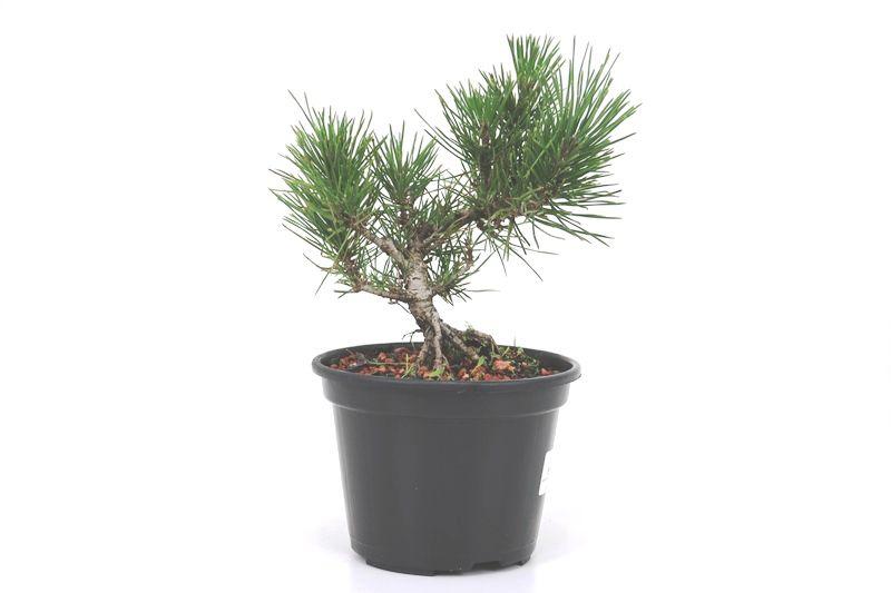 Pré-Bonsai Pinheiro Negro - 06 anos - medida da planta (AxL) 20x20 cm