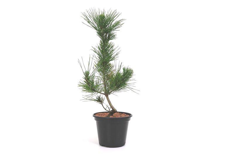Pré-Bonsai Pinheiro Negro - 06 anos - medida da planta (AxL)  39x20 cm