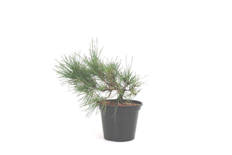 Pré-Bonsai Pinheiro Negro - 06 anos - medida da planta (AxL) 17x24 cm